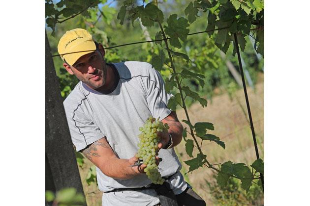 Vendemmia in anticipo, la raccolta dell'uva è iniziata oggi
