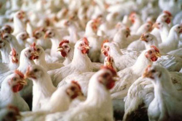 Aviaria, 17 milioni per i danni indiretti