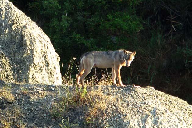 Giovane lupo investito sulla Montanara