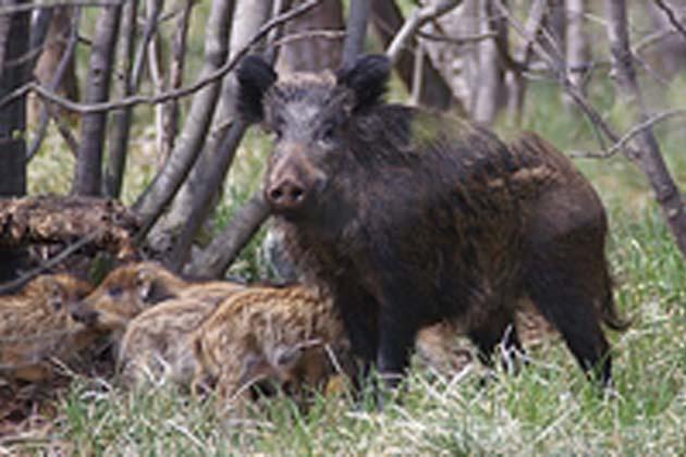 Cinghiali e storni sono peggio del lupo