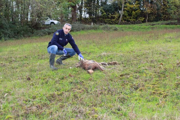Una carcassa di lupo trovata in un campo in zona Maddalena
