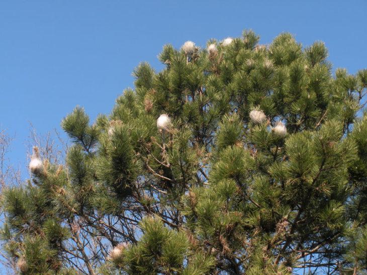 Il Comune di Castello interviene per eliminare i nidi di processionaria dai pini