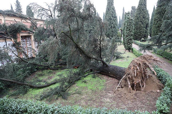 Maltempo, crolla un grande cedro secolare nel cimitero del Piratello – FOTO