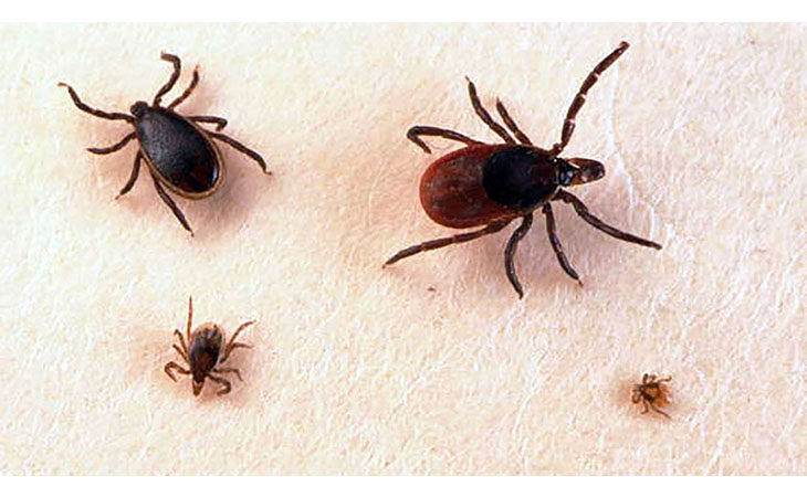 Salute, gli altri parassiti nostrani che possono trasmettere malattie