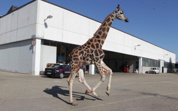 Fuga e morte della giraffa, assolto il titolare del circo, ma la Lav non ci sta e annuncia ricorso