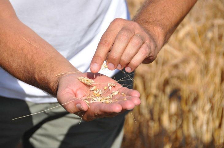Cereali, il progetto della cooperativa Terremerse per fornire le migliori materie prime all'industria alimentare