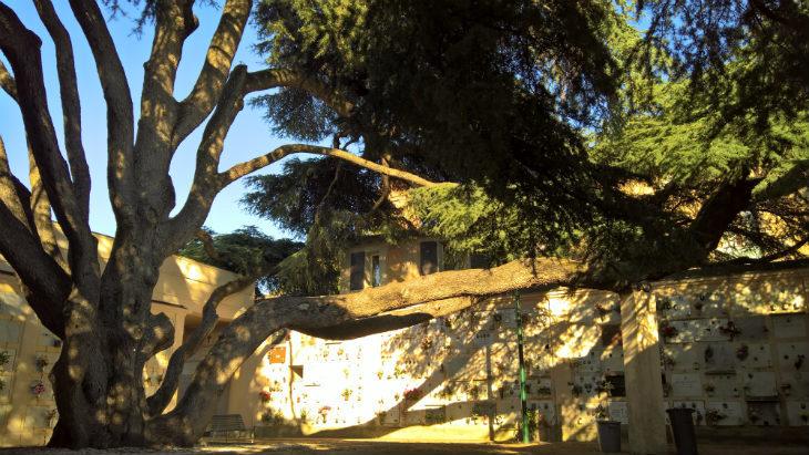 Il cedro del Libano del cimitero del Piratello e gli altri giganti verdi del circondario imolese