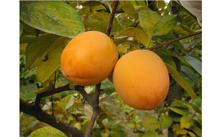Alla scoperta del caco, frutta di stagione, i giovani lo preferiscono a polpa soda