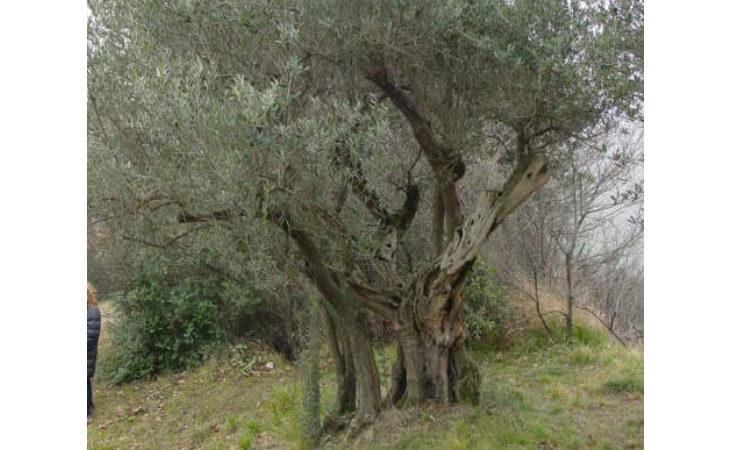 Una ricerca del Cnr sugli olivi secolari del territorio imolese svela informazioni sul sapore dell'olio di un tempo