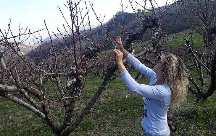 Il gelo ha bruciato la produzione di albicocche, l'allarme degli agricoltori – VIDEO
