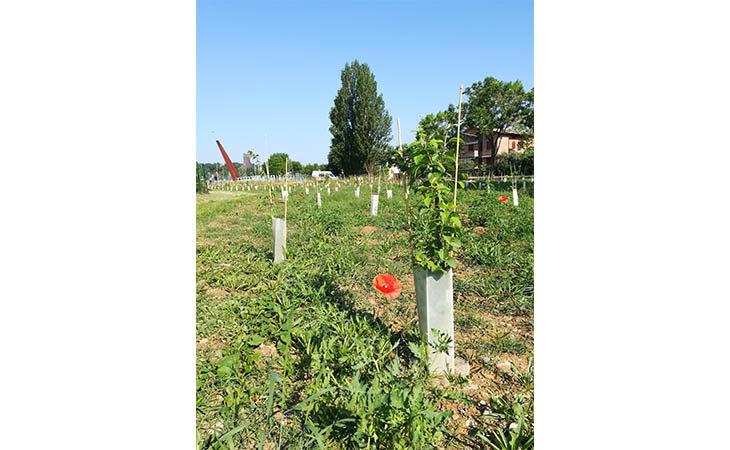 Progetto di forestazione urbana, crescono a piccoli passi i 5000 alberi del «Bosco in città» a Imola