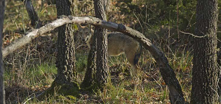 Il ritorno del lupo, una convivenza possibile. Gam, Ausl e naturalisti fanno il punto