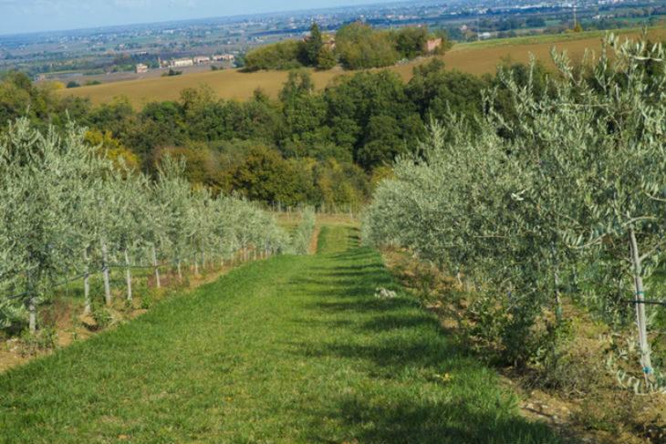 Sui colli di Varignana l'oliveto più grande dell'Emilia Romagna che nel 2020 raggiungerà i 110 ettari coltivati