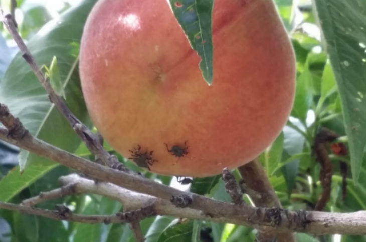 Cimice asiatica, due bandi in Regione da 2,7 milioni di euro a favore delle aziende agricole per azioni a difesa dei frutteti