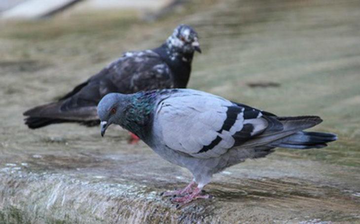Il Comune di Imola vieta di dare cibo ai piccioni, sanzioni da 25 a 500 euro per i trasgressori