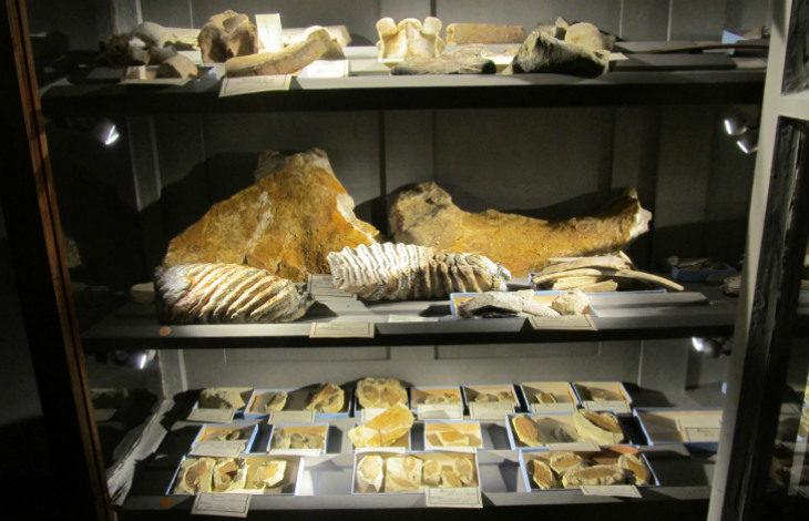 Quando a Imola c'erano il mare e i mammut senza pelo: le curiosità dei resti fossili del Museo Scarabelli