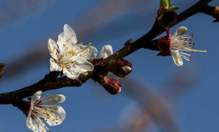 Fioritura anticipata per gli alberi da frutto a causa del febbraio mite, ma si teme il ritorno del freddo