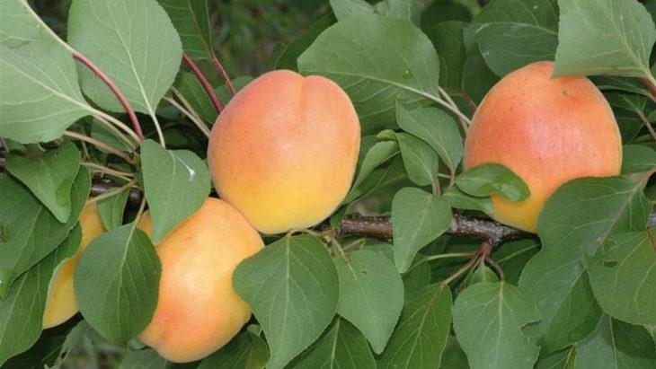 Albicocca Reale, Bella d'Imola, pesca Buco incavato: alla scoperta della frutta di una volta
