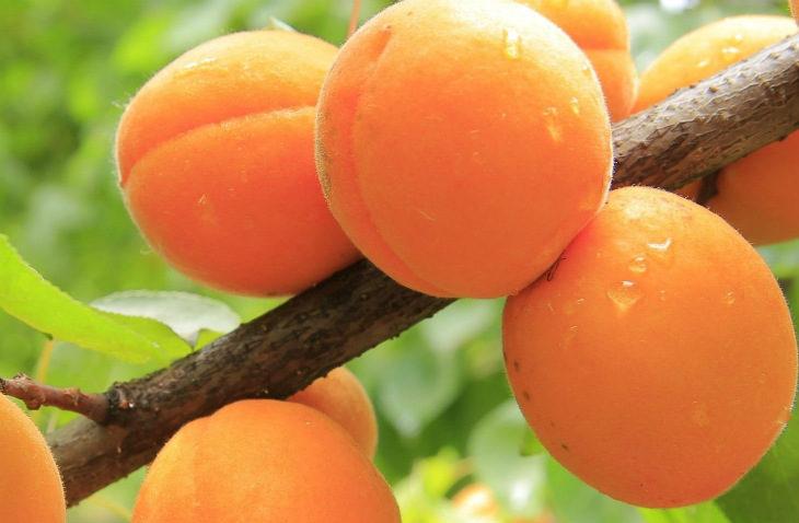 A Casalfiumanese incontro su varietà e valorizzazione dell'albicocca tra gli eventi della Sagra dedicata al frutto