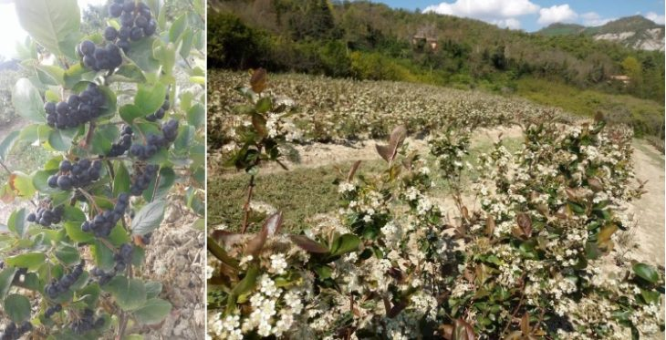 In Vallata si cercano colture alternative, a cominciare dall'aronia e dalle sue straordinarie proprietà nutrizionali e salutari