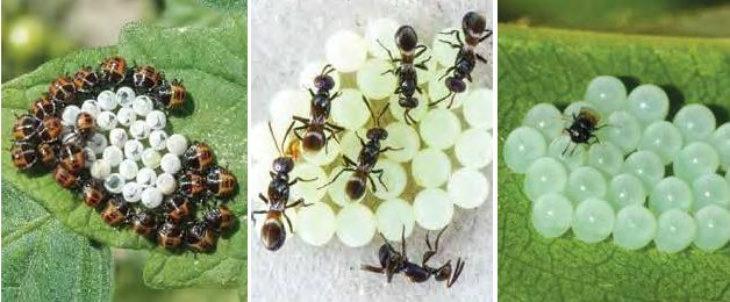 Il caldo fa proliferare la cimice asiatica, per proteggere i frutteti ora si punta sulla lotta biologica