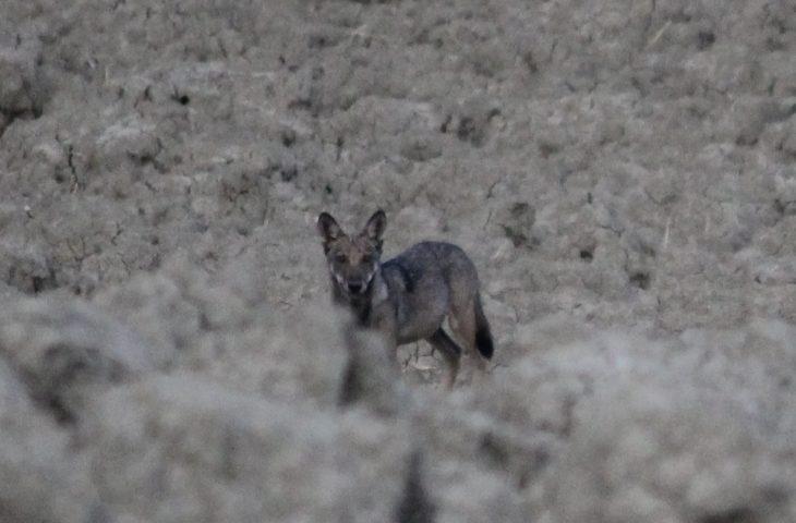 Presenza del lupo stabile nel territorio. E calano gli attacchi al bestiame più dannosi