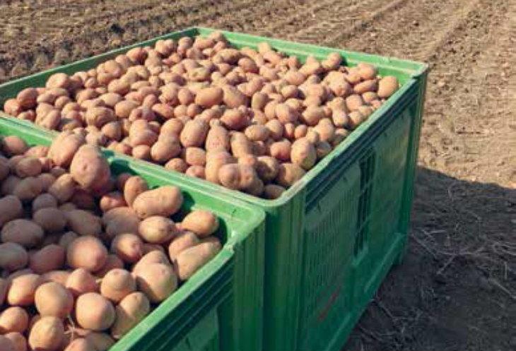I produttori del territorio fanno il punto sul raccolto delle patate. «La qualità è buona, ma la quantità è in calo»
