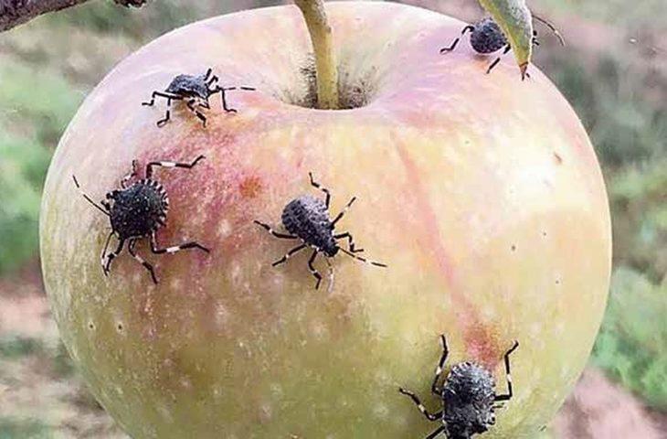 Niente frutta dove passa la cimice venuta dall'Asia