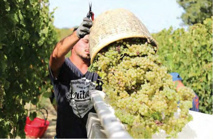 Quantità ridotta ma l'uva è di ottima qualità: grandi attese dei produttori di vino per la vendemmia 2019