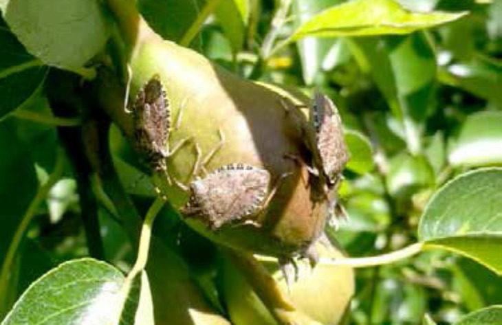 Dal Governo nazionale un fondo da 80 milioni di euro per le aziende agricole colpite dalla cimice asiatica