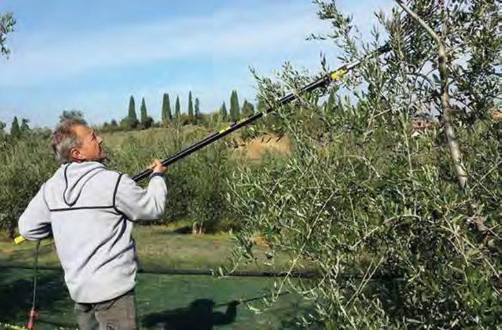 Nel nord Italia crolla la produzione di olive