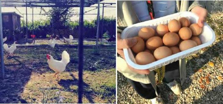 La musica di Bach e Mozart al pollaio sociale di Toscanella per migliorare la produzione delle uova