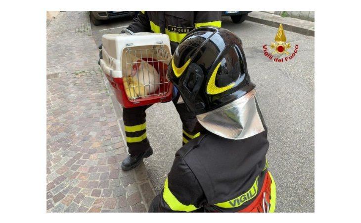 Cinque anatroccoli rimangono incastrati in una grondaia, liberati dai vigili del fuoco