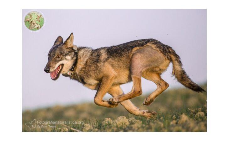 Dopo l'incidente sulla Montanara il lupo Alfa Leon ha percorso 500 chilometri fino a Piacenza