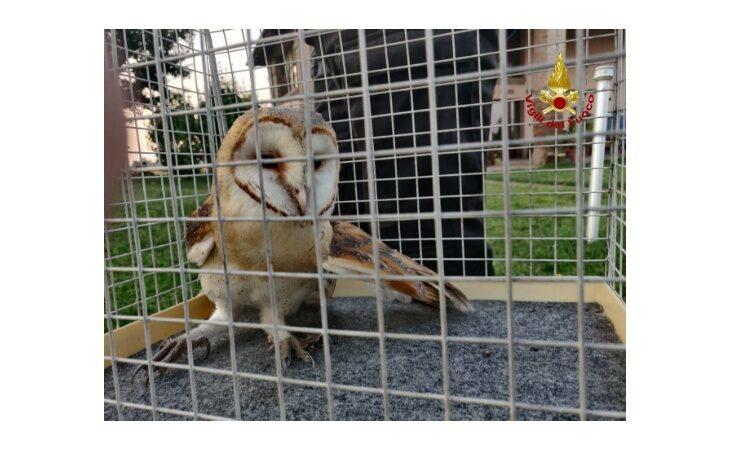 Esemplare di barbagianni ferito ad un'ala, recuperato dai vigili del fuoco e consegnato alla Lipu