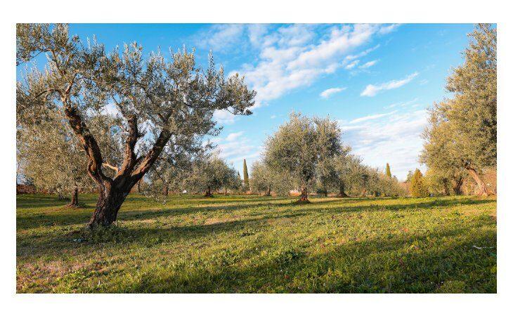 A Varignana l'oliveto più grande dell'Emilia Romagna