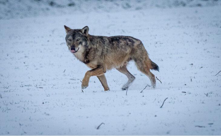 Lupo nella neve immortalato nelle campagne di Medicina dal fotografo Paolo Maresca