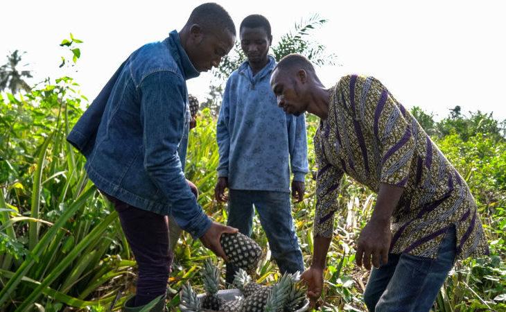 L'ananas Dolcetto a marchio Alce Nero fa crescere l'agricoltura cooperativa in Togo