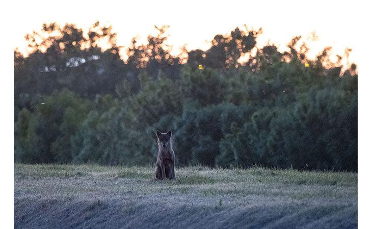 Un altro lupo solitario immortalato nelle campagne di Medicina dal fotografo Paolo Maresca