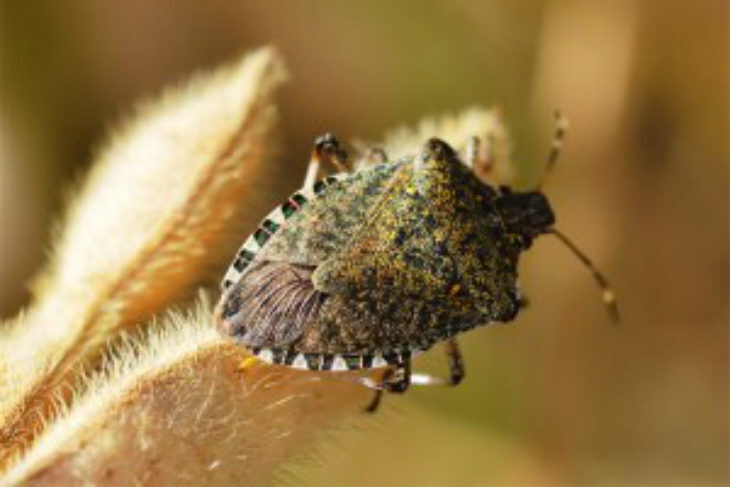 Lotta biologica alla cimice asiatica, 22mila vespe samurai «lanciate» in Emilia-Romagna