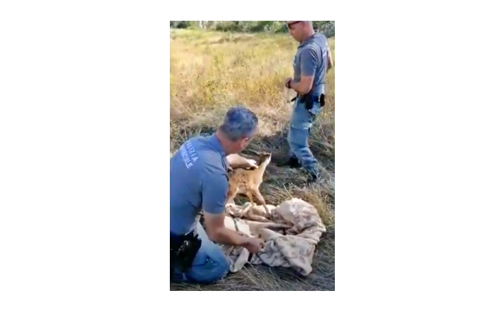 Capriolo cade in una vasca di raccolta delle acque, salvato dagli agenti della polizia metropolitana di Imola